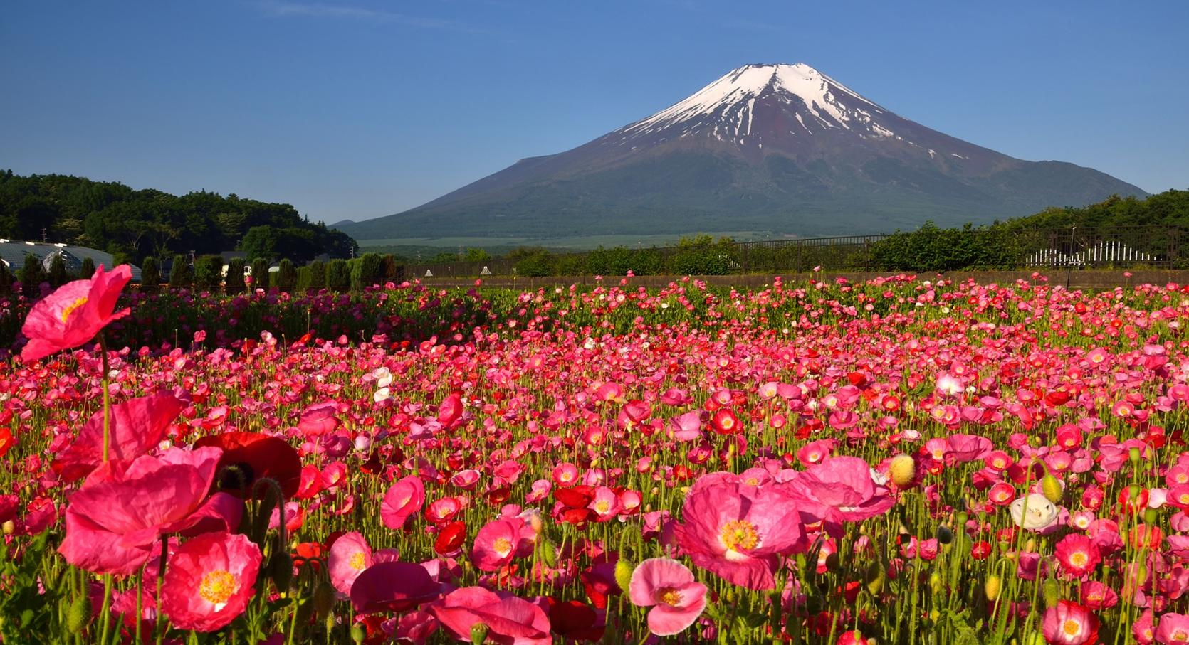 Spring flowers and Mt.Fuji